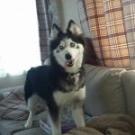 5 Best Remedies For A Teething Siberian Husky Puppy My Pet Husky